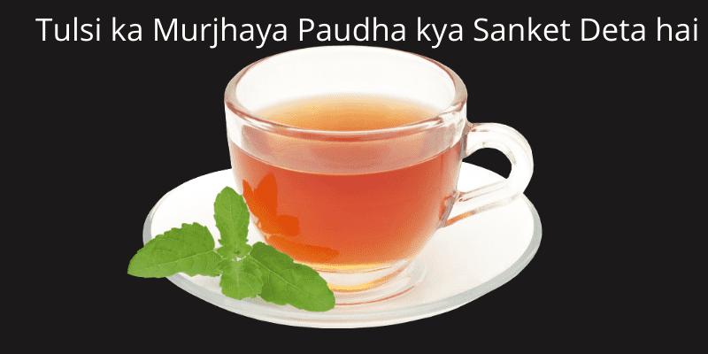 tulsi-ka-murjhaya-paudha-kya-sanket-deta-hai-(1)_optimized