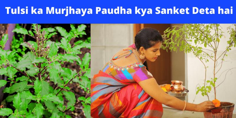 tulsi-ka-murjhaya-paudha-kya-sanket-deta-hai-(2)_optimized