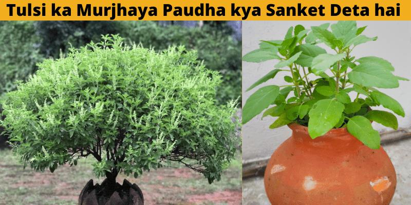 tulsi-ka-murjhaya-paudha-kya-sanket-deta-hai_optimized (3)